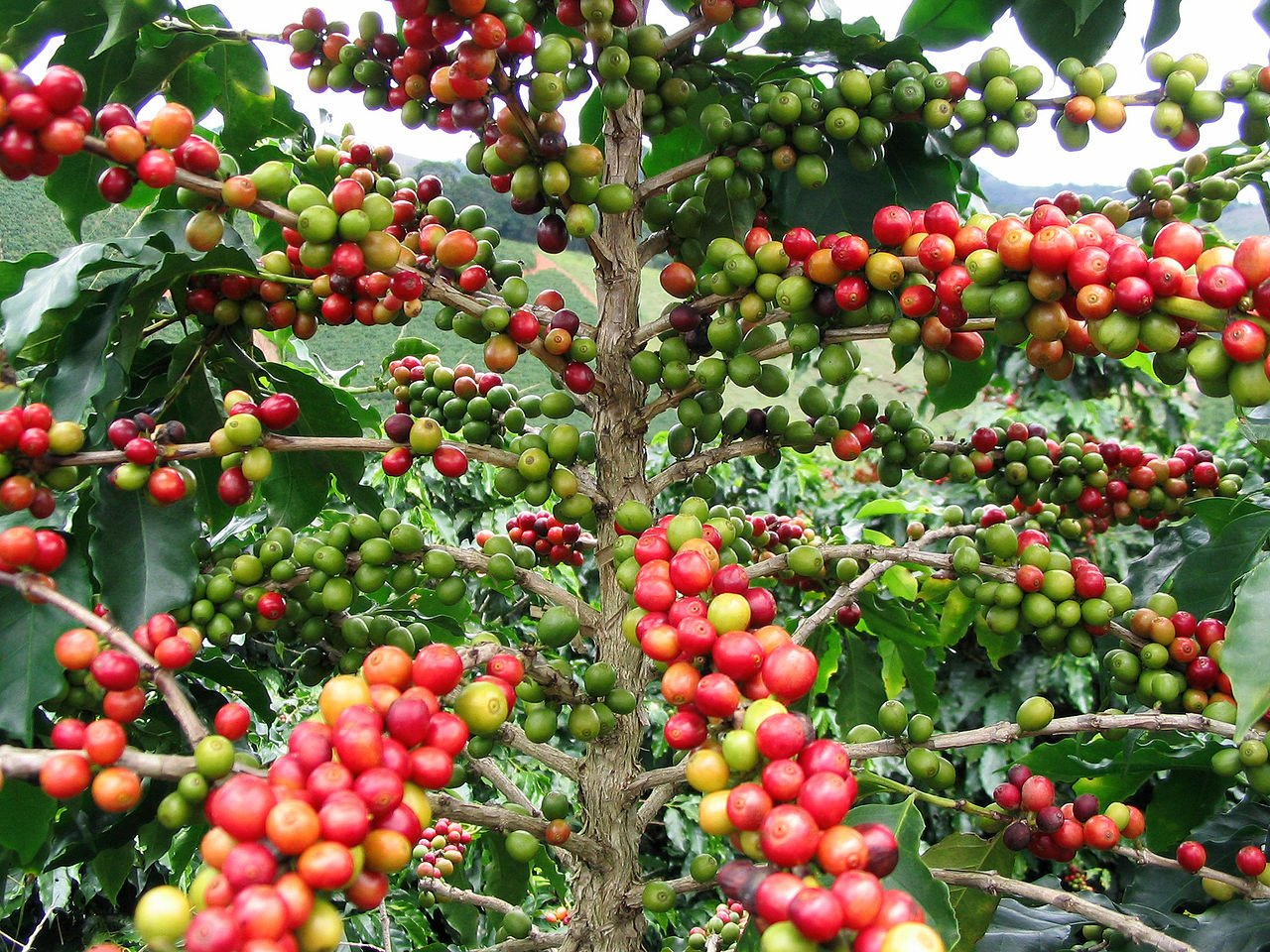 where do coffee beans coming from